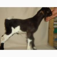 Продам процентный нубийских козликов от высокоудойных коз
