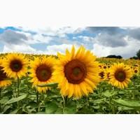 Бонд насіння соняшнику під гранстар / насіння від виробника