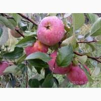 Яблуні, груші, сливи