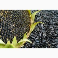Семена подсолнечника МАТИС (под гранстар) солар сидс (solar seeds) франция