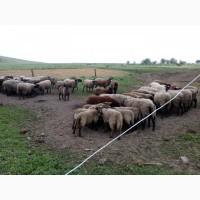 Продам вівцематки романівської породи