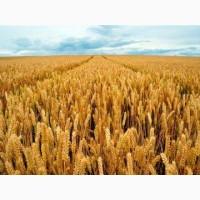 Семена Канадской пшеницы сорта TESLA