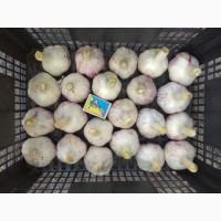 Товарный чеснок, чеснок на посадку, посадочный материал, сорт Любаша, семена чеснока