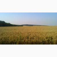 Пшениця продовольча, 2-3 КЛ