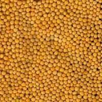 Семена горчицы МРИЯ элита 1 репрод