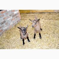 Молочные козлята Альпийской породы. Рождение - ноябрь-декабрь 2018 года