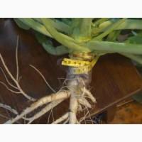 Продас СРОЧНО семена рапса MEDANA F 36 Канадский нано трансгенный озимый гибрид рапса