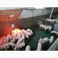 Продажа свиней, поросят
