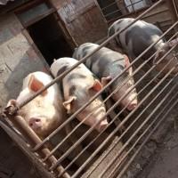 Продам свиней мясной породы живым весом