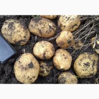 Картофель оптом, сорт Аризона