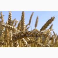 Семена экстрасильной пшеницы Нива Одесская