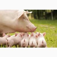 Поросята гибриды мясные, Французской селекции