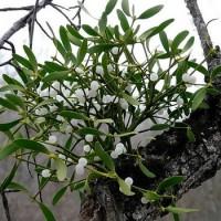 Продам лист омелы белой