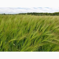 Продам насіння ячменю та пшениці німецької, чеської, канадської, французької селекції