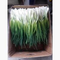 ПРОДАМ ЛУК (Перо)35-45 грн /кг