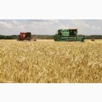 Куплю пшеницу оптом, крупным оптом вся Украина