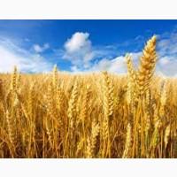 Предлагаем Канадская пшеница Альма, мягкая остистая, высев 120-140 кг/га