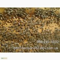 Пчелопакеты и пчеломатки Карпатской пчелы 2021 г с доставкой по Украине