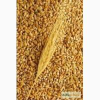 Продаем пшеницу на экспорт. Sell wheat, corn FOB Black Sea