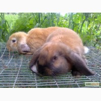 Продам кролів французький баран