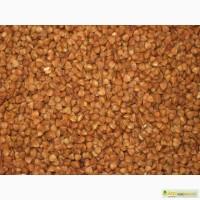 Семена гречихи: сорт Антария, 1 репродукция