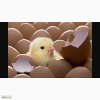 Яйца инкубационные куриные, інкубаційні яйця, оптом, розница, производитель