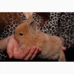 Декоративные кролики окраса огненная белка
