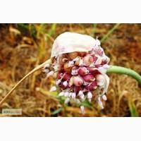 Воздушные семена сортового чеснока ( воздушка, воздушная бульбочка чеснока )
