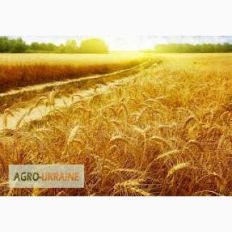 Куплю пшеницу 2-3 класса (и фуражную)