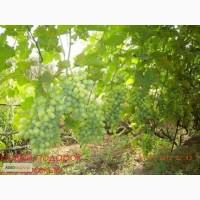 Продам саджанці винограду столових та технічних сортів