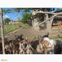 Продам Нубийских козлят