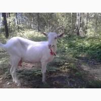 Породам коз