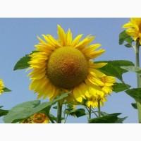 Соняшник стійкий до Євро-Лайтнінгу