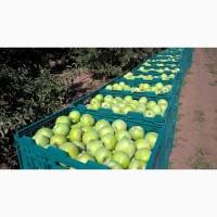 Продам яблоки Айдаред Семиринка