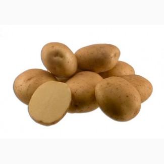 Товарный картофель от производителя оптом, всегда в наличии 7 сортов