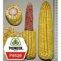 Семена кукурузы П8529/ P8529 укр. (ФАО 270) рапродажа остатка - схожесть 98%