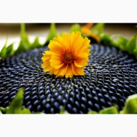 Семена подсолнечника Силуэт солар сидс (solar seeds) франция