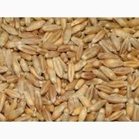Куплю третий класс пшеницы дорого