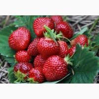 Продам ягоды клубники (полуниці) – мелкий и крупный опт