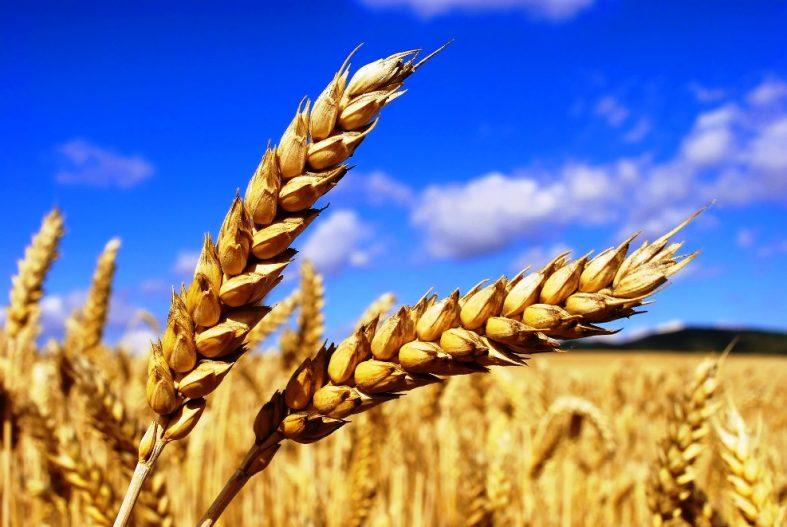 купить пшеница на элеваторе