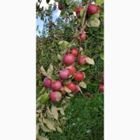 Продам яблоки органические, товарные и на переработку