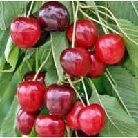 Саженцы яблони, груши, черешни, вишни, персика, абрикоса, сливы, алычи ОПТОМ