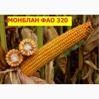 Семена кукурузы Монблан ФАО 320 (экстра фракция) Семанс франция