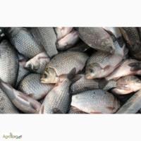 Рыба речная свежая и свежемороженая