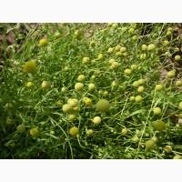 Продам семена цефалофоры, земляничной травы, сбор 2018 года