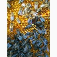 Пчеломатки 2019 г Карпатка и УС - Плодные и Неплодные