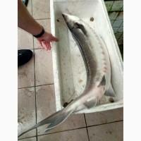 Продажа малька осетровых рыб