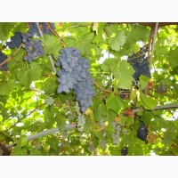 Продам сухой виноград винопродукт