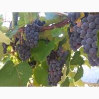 Продам виноград Молдова(капшун)