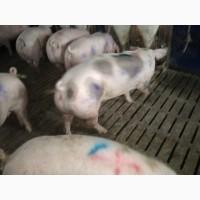 Куплю свиней живою вагою от 30 гол різних дорого